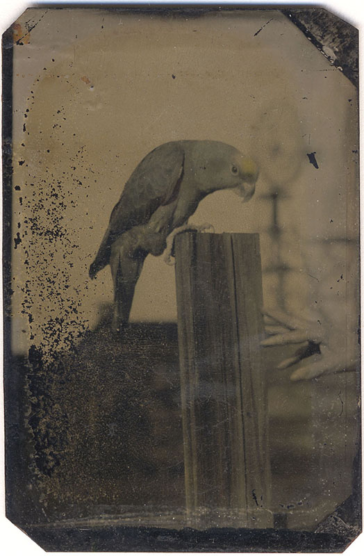 Parrot Tintype