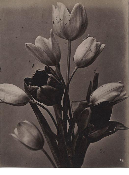 French floral Study, c. 1870's, albumen print