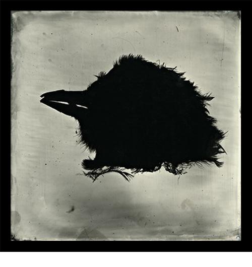 "S. Gayle Stevens, Black Bird, 2011, Collodion on alluminum, 5 x 5"""